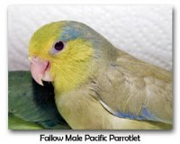 Fallow Male Pacific Parrotlet