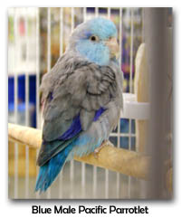 Blue Male Pacific Parrotlet