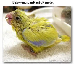 Baby American Pacific Parrotlet