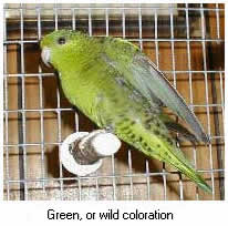 Green, or wild coloration