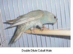 Double Dilute Cobalt Male