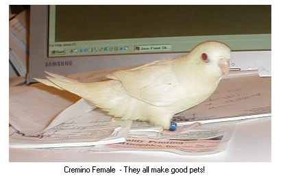 Cremino Female - They all make good pets!
